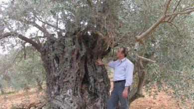 صورة التحاليل الجينية تؤكد مركزية نشوء الزيتون في الأردن عبر العصور