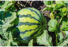 صورة دراسة:السماد النيتروجيني يحسن ويزيد منتج البطيخ