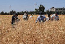 صورة البحوث الزراعية ينظم ورشة لاختيار افضل سبل القمح والشعير